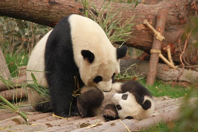 じゃれているパンダ